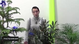 Фикус уход в домашних условиях / Фикус эластика мелани (hybrid)(Фикус (лат. Ficus) — род растений семейства Тутовые (Moraceae), в составе которого образует монотипную трибу Фикусо..., 2014-12-13T05:00:01.000Z)