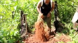 Fiji Kava Production (Vanua Levu, February 2014)