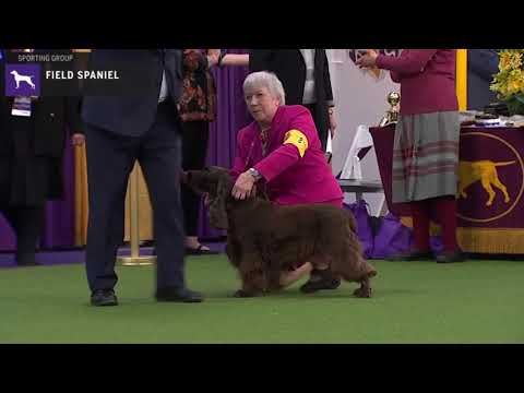 Spaniels (Field) | Breed Judging 2020