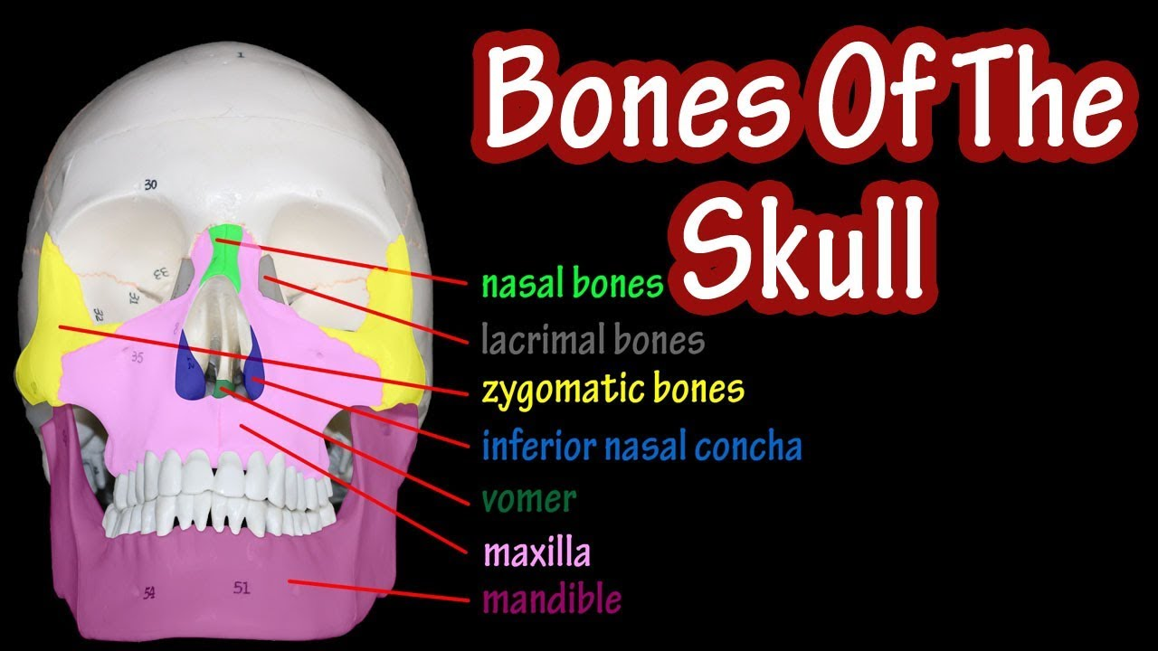bones of the skull labeled anatomy of the skull and facial bones skull anatomy bones [ 1280 x 720 Pixel ]
