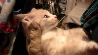 kitten attacks big cat