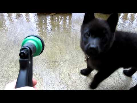 Bob the Schipperke plays w/ hose that makes a funny noise, so does he.