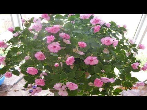 Бальзамин Уоллера из одного семени цветёт на балконе и как его вырастить.
