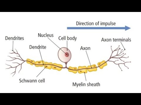 labelled diagram of nerve cell 4l60e transmission well neurons great installation wiring how to draw sensory neuron and very easy youtube rh com a typical