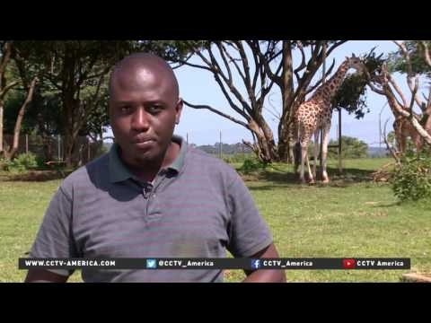 Uganda strives to replenish endangered giraffe population