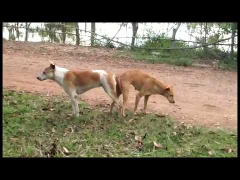 Awesome Smart Rural Dogs !! Dog Meeting for the Summer Season in Village.#02