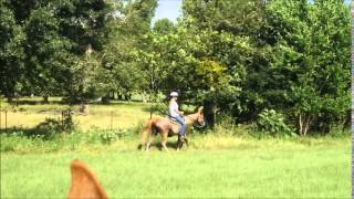 5-yr-old Strawberry Roan Tennessee Walking Horse mare for sale