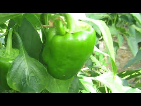 Перец Клаудио. Гибрид крупный и урожайный. | крупноплодный | сладкий | клаудио | перца | перец | обзор
