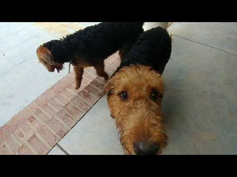 Back Porch Playing Older Airedale Terrier Puppy Puppies For Sale On October 8, 2018