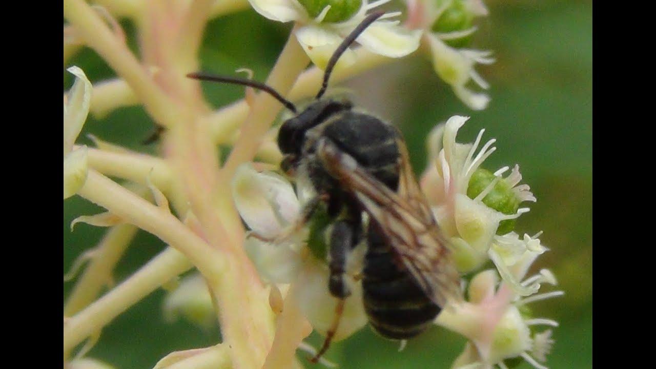 Como se diferencia una abeja de una avispa - YouTube