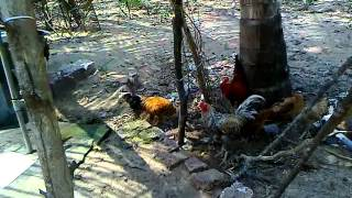 roosters trying to fight(10-03-2012).mp4