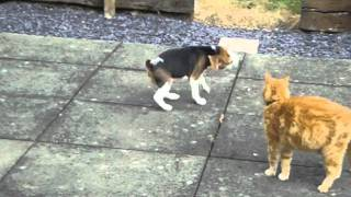 Beagle Vs Cat