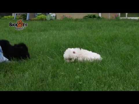 Havanese Maltese Mix Puppies
