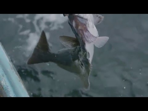 North Atlantic Halibut Fishing In Trout River, Newfoundland