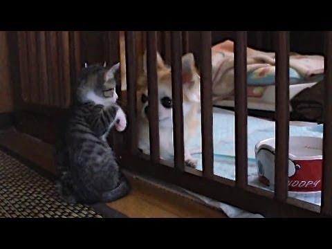 子猫の相手をするチワワ