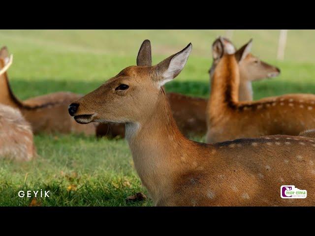 Hayvan Videoları ve Hayvan Sesleri - Çocuklar için A'dan Z'ye 37 Farklı Hayvan! - Okul Öncesi Eğitim