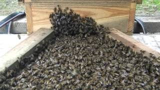 Warre Bee Hive Construction & Swarm