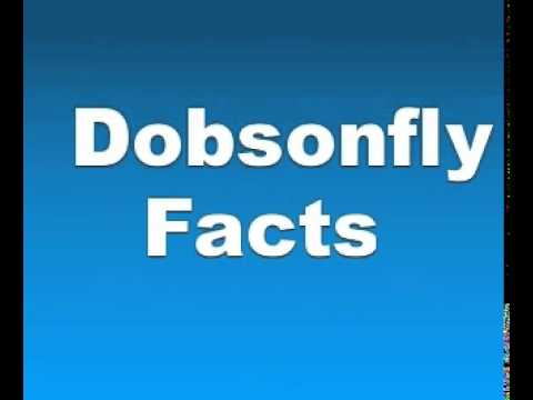 Dobsonfly Facts - Facts About Dobsonflies