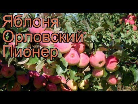 Яблоня средний Орловский Пионер (malus) 🌿 обзор: как сажать, саженцы яблони Орловский Пионер