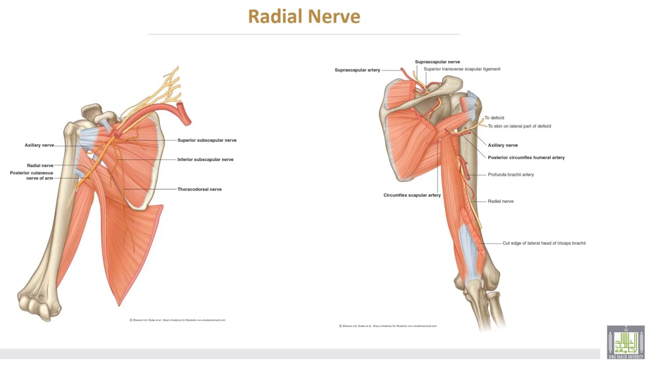 Anatomy 2 U2 L11 Nerves Of The Arm And Cubital Fossa Youtube