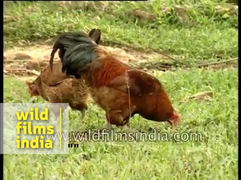 Indian rooster in Assam