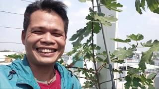 [Sung mỹ Sài Gòn] Sung Mỹ 7kg sau 6 tháng cho 4kg trái tươi gần 2 triệu đồng