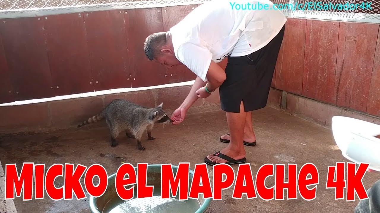 una-visita-al-mapache-micko-y-al-mini-zoo-4k-atoleada-de-elote-parte-7