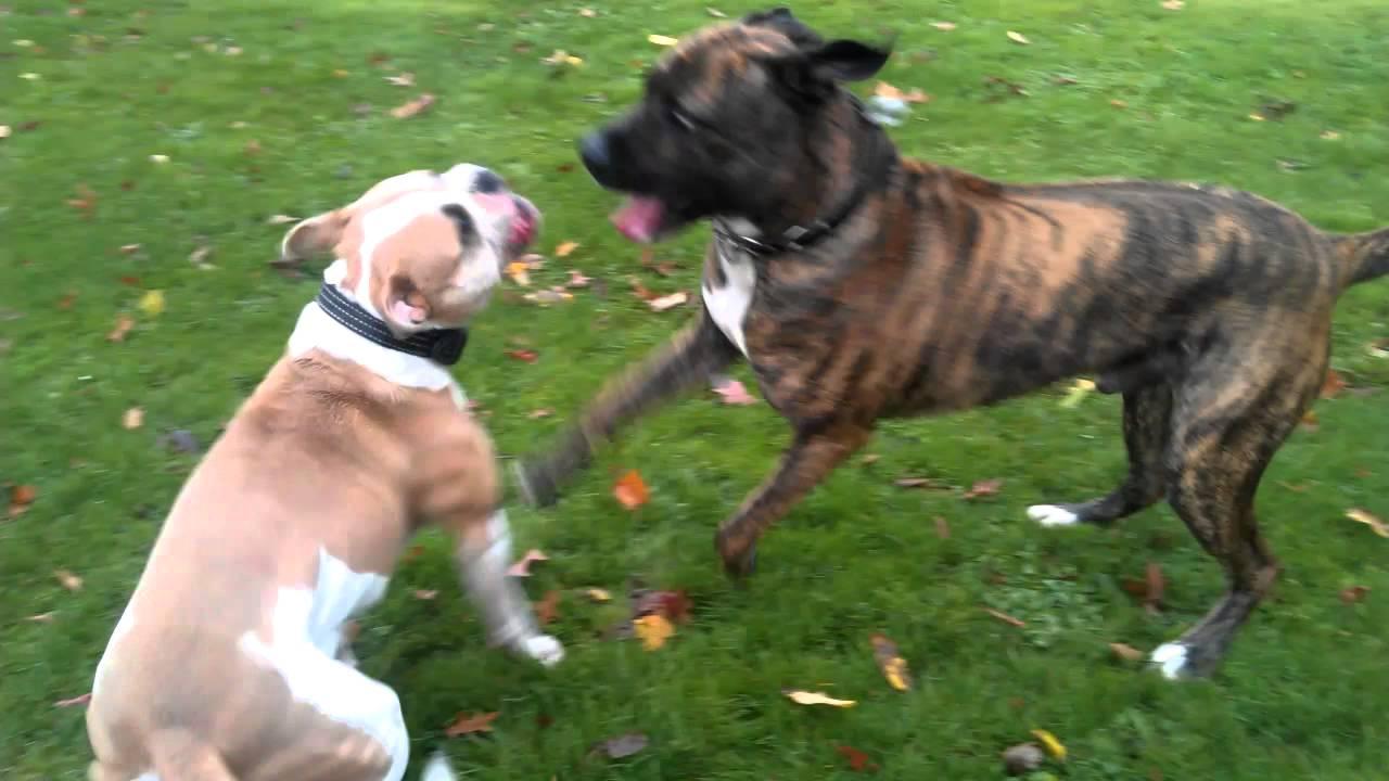 American Bulldog Attack Nena Vs Tiger Youtube