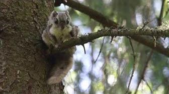 Metsien liitelijä liito-orava