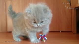 Милый малыш - британский длинношерстный котик.