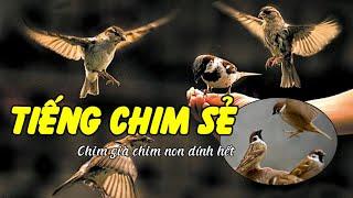 Tiếng chim sẻ mồi chuẩn thu hút chim dài 60 phút (có link mp3)