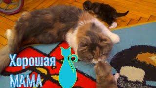 251. Котятам 13 дней. Котята Шотландской вислоухой кошки.