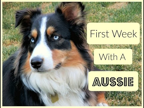 My First Week with an Aussie Puppy - Looking Back |Life With Aspen|