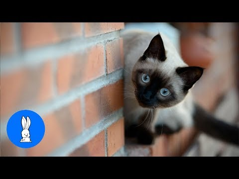 Siamese Kittens Playing - Cute Compilation
