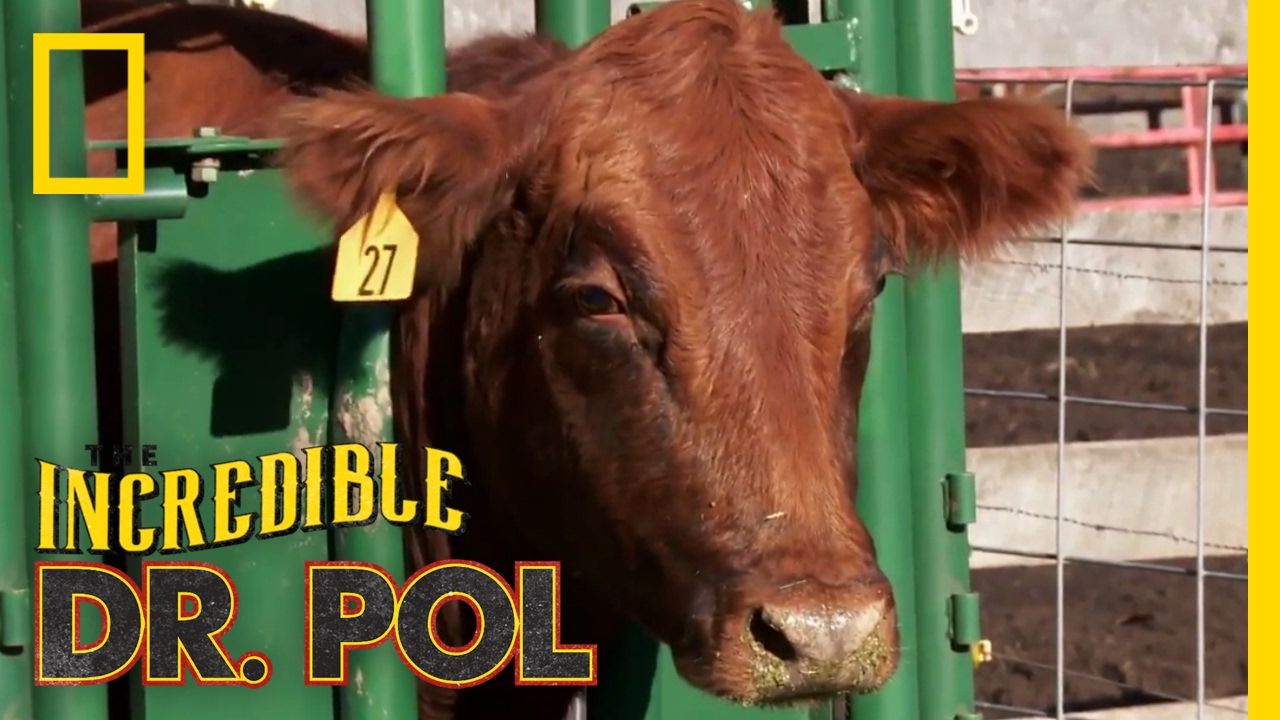 Never Turn Your Back on a Cow | The Incredible Dr. Pol - YouTube