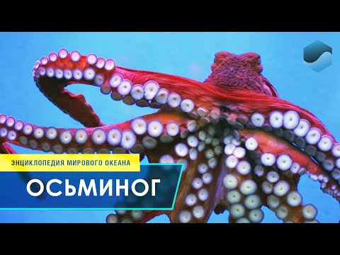 Вопрос: Кто поймал двупалого осьминога shy в 21 веке в мировом океане?