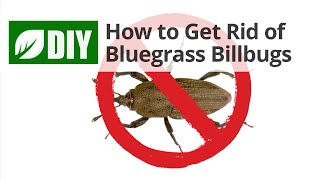 How to Get Rid of Bluegrass Billbugs