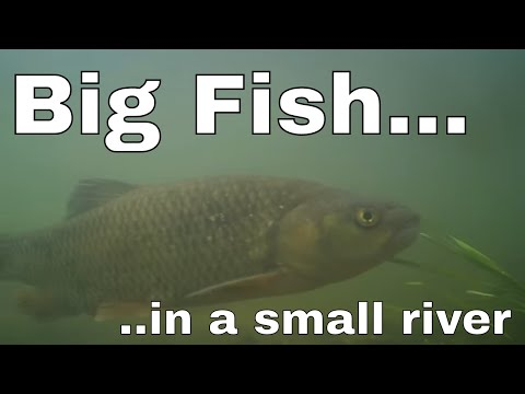 BIG FISH In A Small English River.