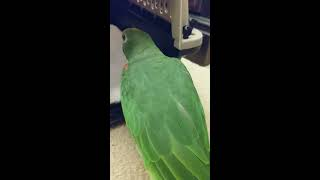 Freedom the Parrot Investigates Cat Carrier to Help His Feet!