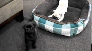 Pug Puppies For Sale In Ohio July 23,2014