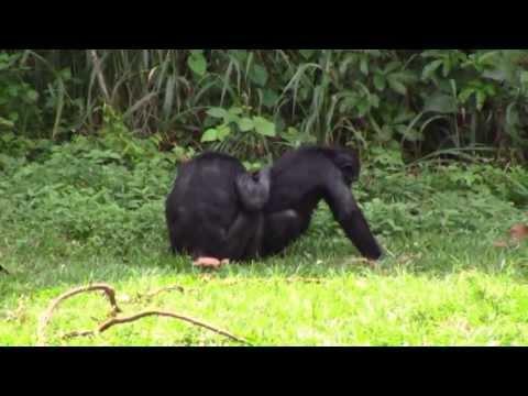 Visiting Bonobo's in Kinshasa, Congo--Africa