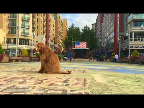5-Month Old Golden Doodle, Blue!  Doodle Dogs in Virginia | Best Dog Training
