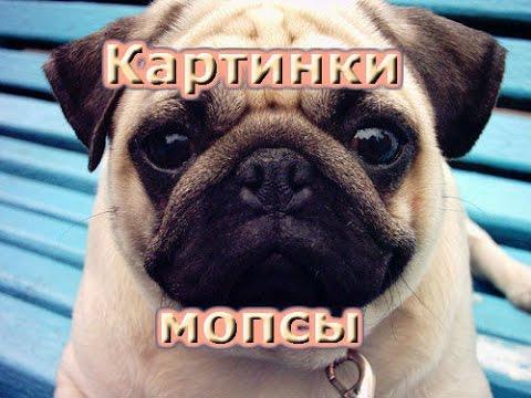щенки мопс фото цена
