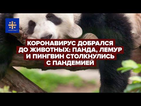 Коронавирус добрался до животных: Панда, лемур и пингвин столкнулись с пандемией