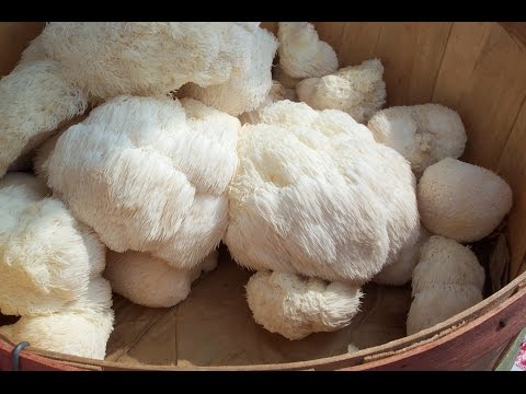 lion's-mane:-a-nootropic-mushroom-that-can-improve-diabetes,-brain-function,-and-neurons