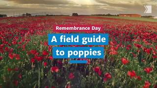 Remembrance Day: A field guide to poppies