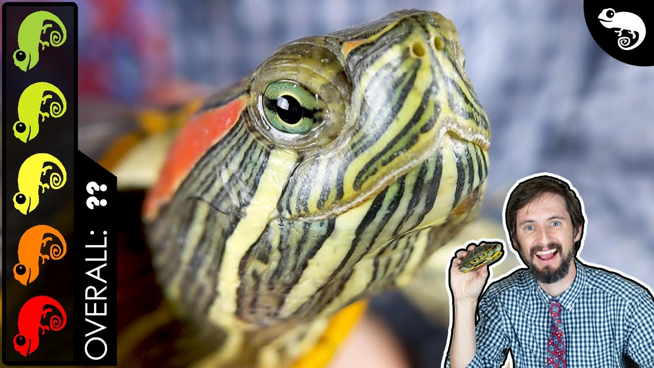 Red Eared Slider The Best Pet Turtle Youtube