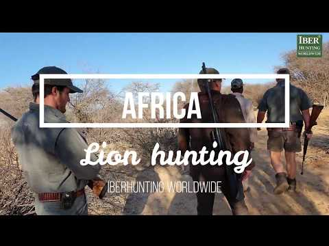 Hunting in Africa   African hunting lion