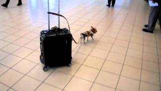 3 lb yorkie and his 30 lb carry on thumbnail