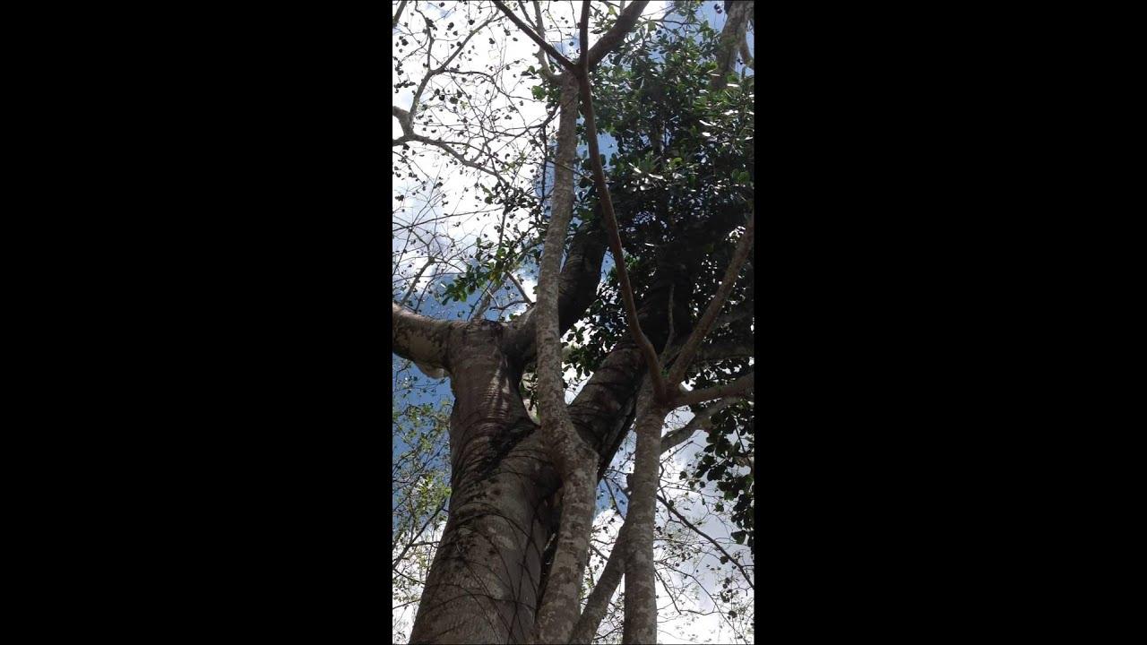arbol ciricote en predio zapote, abejas meliponas - YouTube